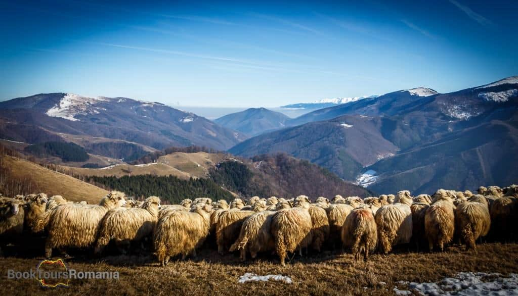 Flock of sheep enjoying the view