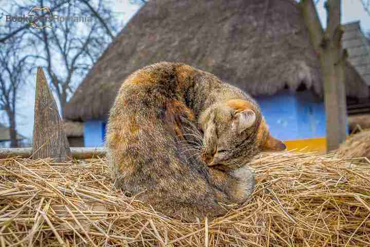 Lazy cat at the Village Museum