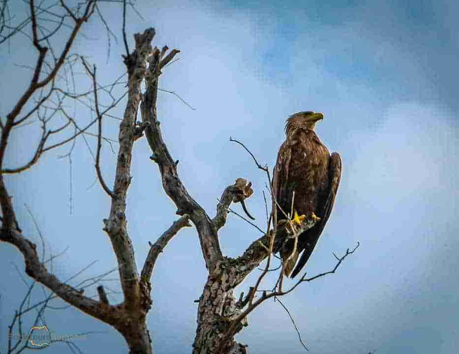 The white-tailed eagle in the Danube Delta